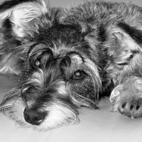 3 Schnoodle Heath Issues And Their Treatments