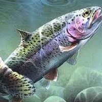3 Tips On Catching Rainbow Trout Out Of Stocked Ponds