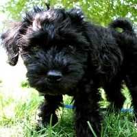 4 Common Traits Of Schnoodles