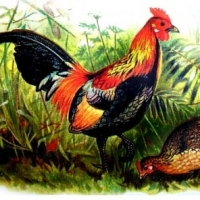 A Look at Chicken Coop Designs And Plans