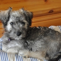 A Schnoodle Puppy – 4 Reasons to Get One