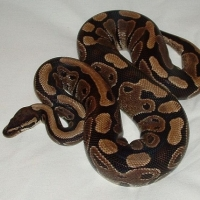 Ball Pythons: Your New Favorite Pet!