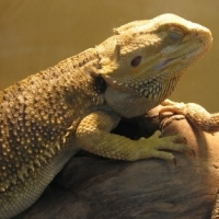 Bearded Dragon Beginners Guide