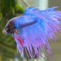 Fish page 1 sorted by article rank high to low for Betta fish care sheet