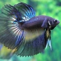 Betta Fish Care  -  Simple Steps to A Healthy Betta!