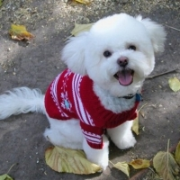 Bichon Frise Adoption