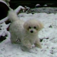 Bichon Frise Boots  -  Protect their Feet From Ice And Snow