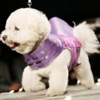 Bichon Frise Clothing  -  Shopping for Shirts