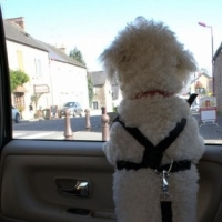 Bichon Frise Riding In the Car?  -  Keep Them Safe