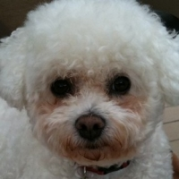 Bichon Frise Tear Stains   -   All You Need to Know