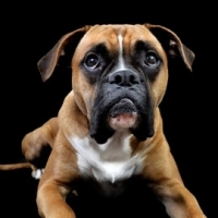 Boxers And Canine Good Citizen Award