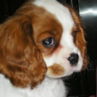 Breaking News    -    Atlanta Dog Scene Interview With A True Cavalier King Charles Spaniels Lover