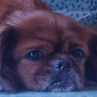 Breed Basics for Pekingese Dogs