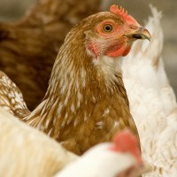 Build A Backyard Chicken Coop - What Are Your Limitations?