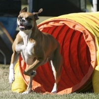 Build Dog Agility Equipment For Your Boxer Dog