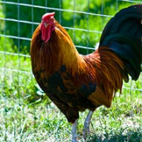 Building Chicken Coop Information To Get You Started