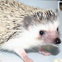 Can You Wash A Hedgehog Too Much?