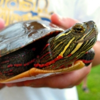 Caring For Painted Turtles