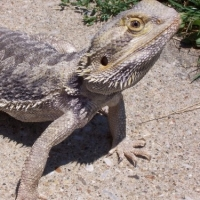 Caring For Your Bearded Dragon: Part 1