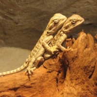 Caring For Your Bearded Dragon: Part 2