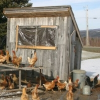 Chickens And Coops - Advice