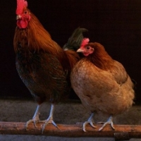 Chickens And Coops - Advice Needed?