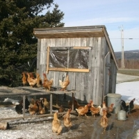 Chickens And Coops - How to