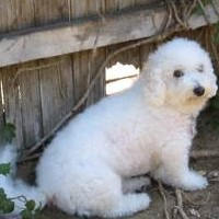 Choosing A Fence for Your Bichon Frise