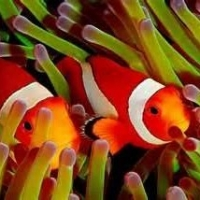 Clownfish And there Sea Anemone Host