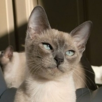 Crossbreed Cats – The Tonkinese