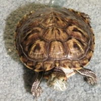 Do Red   -   Eared Sliders Have Personalities | The Antics Of An Aquatic Turtle