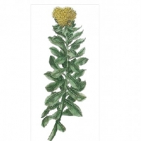 Does Rhodiola Help to Lower Blood Pressure?