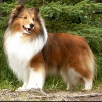 Dog Breeds: Grooming A Sheltie