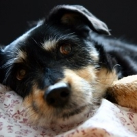 Dogs And Essential Oils