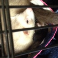 Ferret Bathing Methods