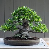 Ficus Bonsai Tree Losing Leaves - Now What?