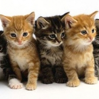 Flea Treatment Options For Kittens