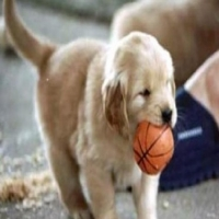 Golden Retriever Puppies: Hard to Turn Down That Face