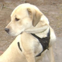 Harnesses Vs Collars: Which is Better?
