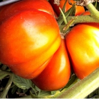 History Of Tomatoes - Is There Really A Mystery Behind Its Origins?