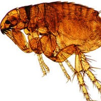 How Can I Have Fleas But No Pets In My House?