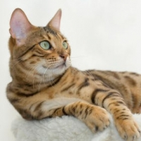 How To Identify A Proper Bengal Cat Breeders