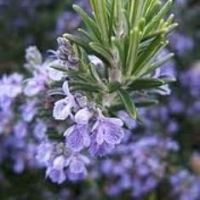 How to Use Rosemary Oil for Hair Growth