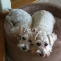 Hypoallergenic Dogs: Own One AND Be Allergy Free