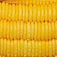 Is Wheat, Corn And Soy Making You Fat & Unhealthy?