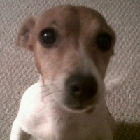 Jack Russells barking and barking and barking