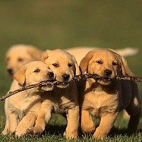 Labrador Retiever Training - Puppy Biting