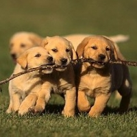 Labrador Retriever Training-Leash Training