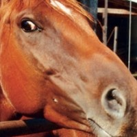 Lifting Of Horse Slaughter And Inspections May Set Off Major Controversy