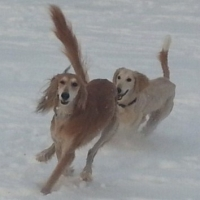 Make A Plan for Training Your Sighthound for the 2014 Lurecoursing Season  -  Part 1